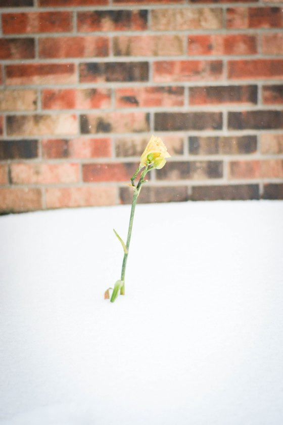 Snow Lily